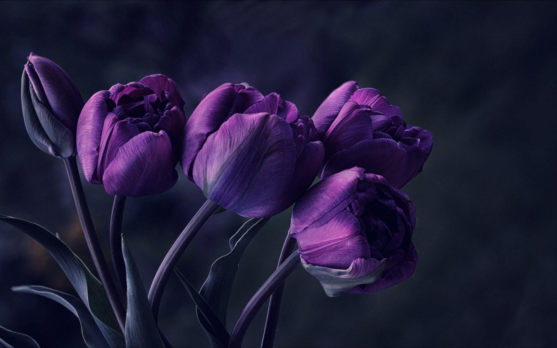 Ảnh hoa Tulip tím đẹp nhất