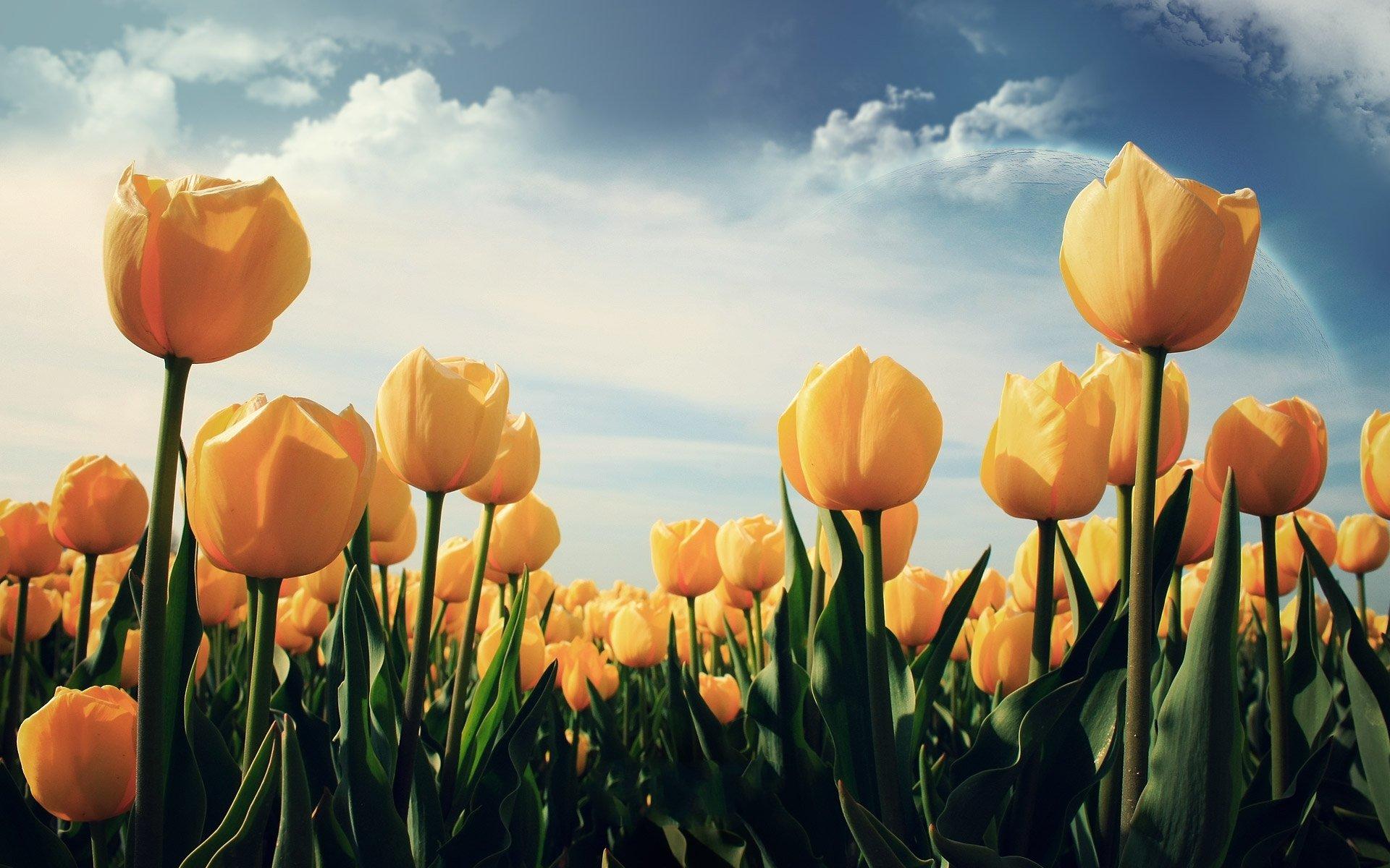 Ảnh hoa Tulip vàng đẹp nhất