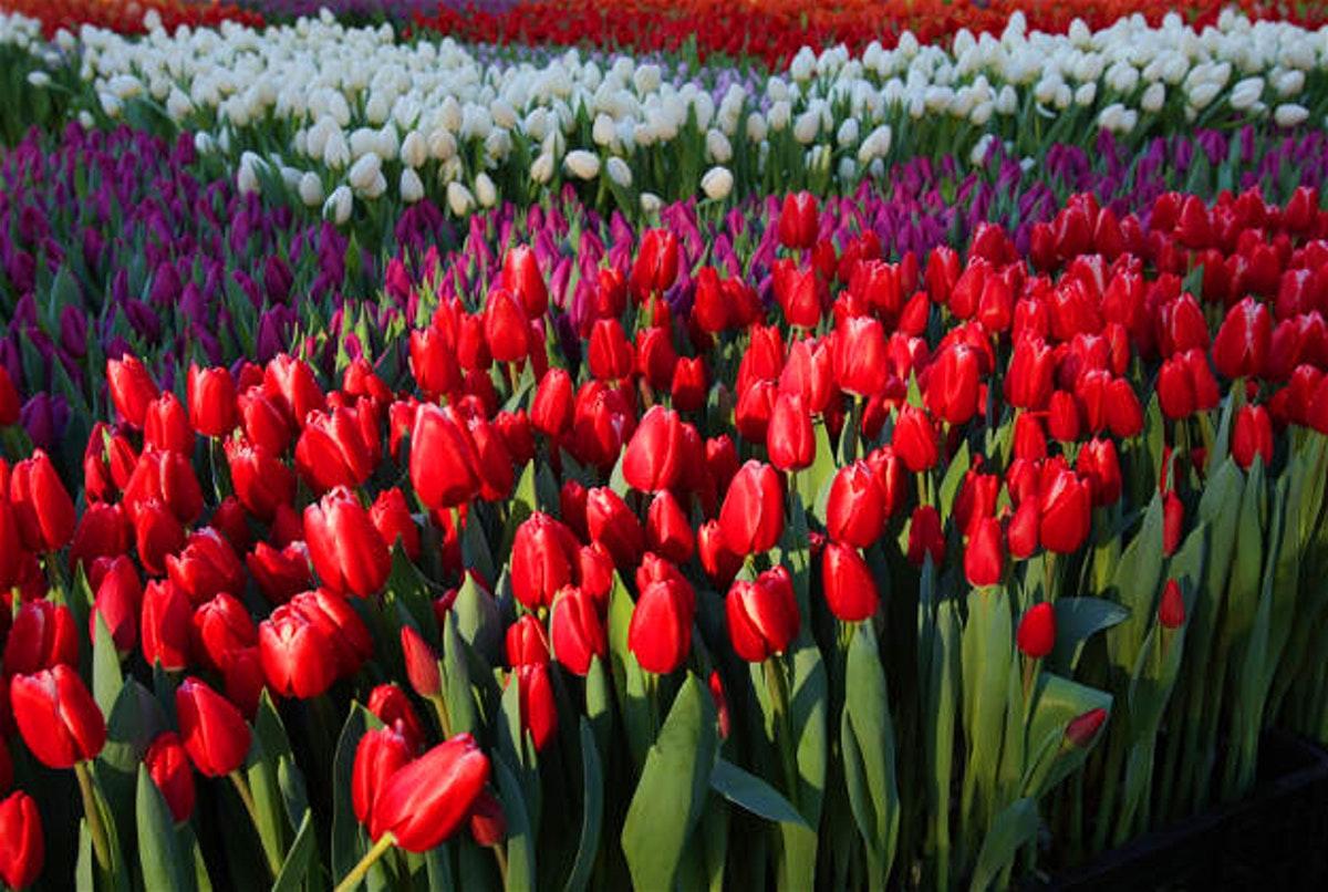 Ảnh hoa Tulip với đủ màu sắc