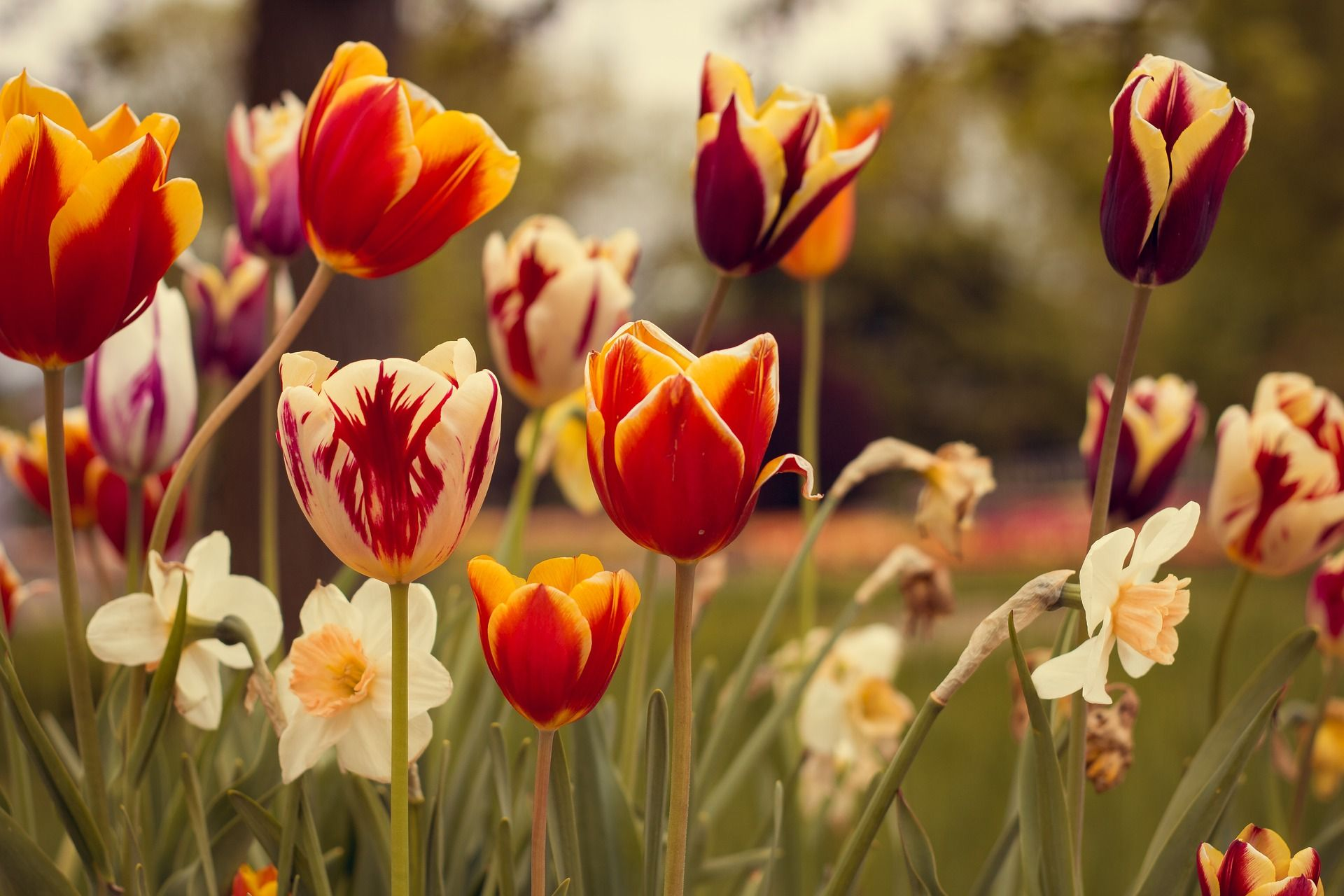Ảnh hoa Tulip với màu sắc độc lạ