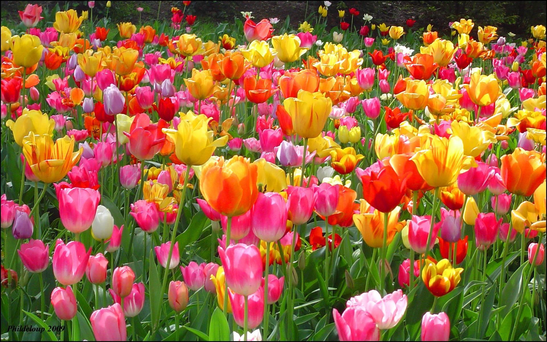 Ảnh khu vườn hoa Tulip rực rỡ sắc màu