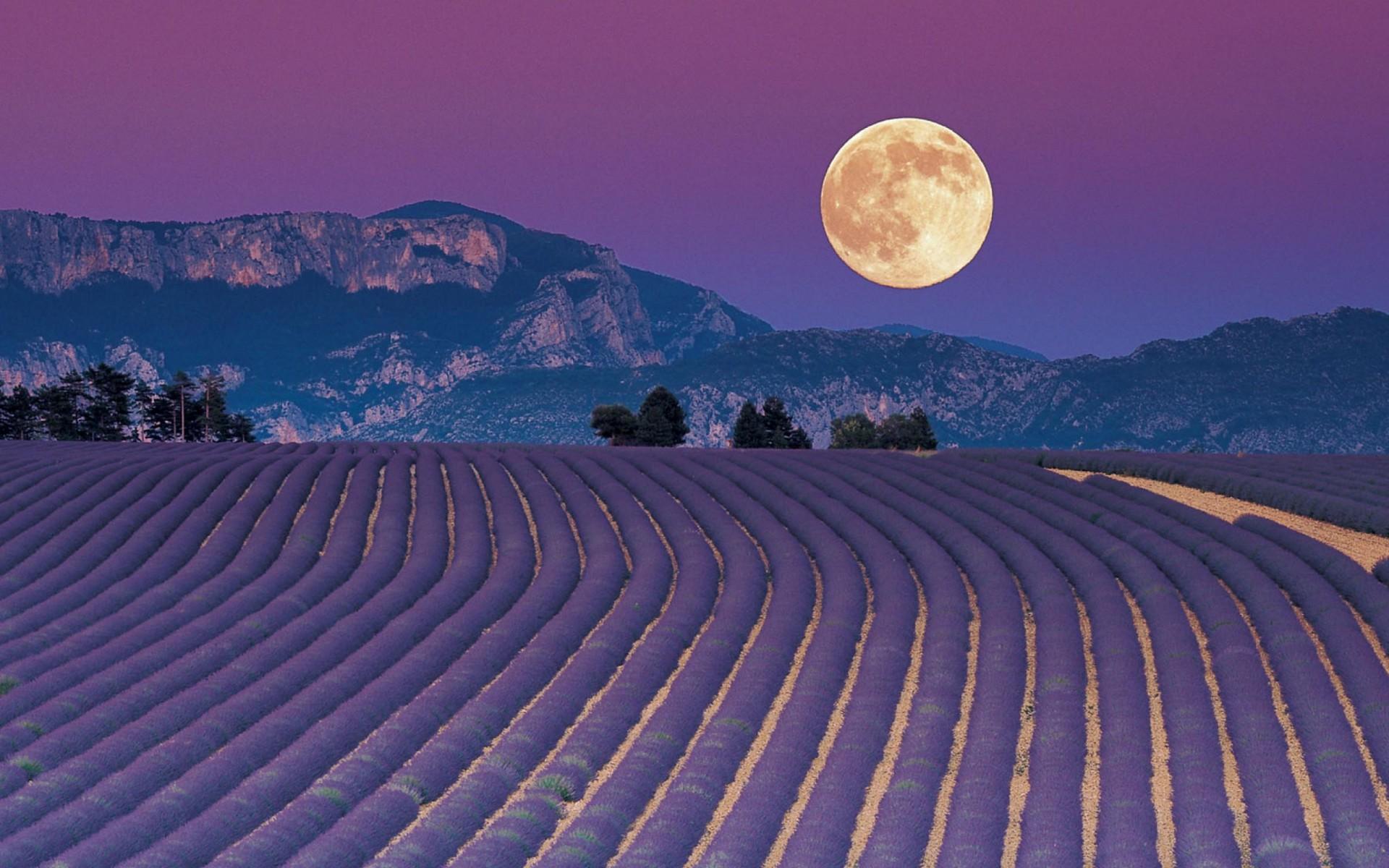 Ảnh mặt trăng trên cánh đồng hoa oải hương