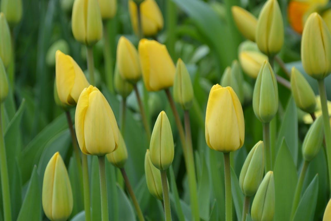 Ảnh nụ hoa Tulip vàng