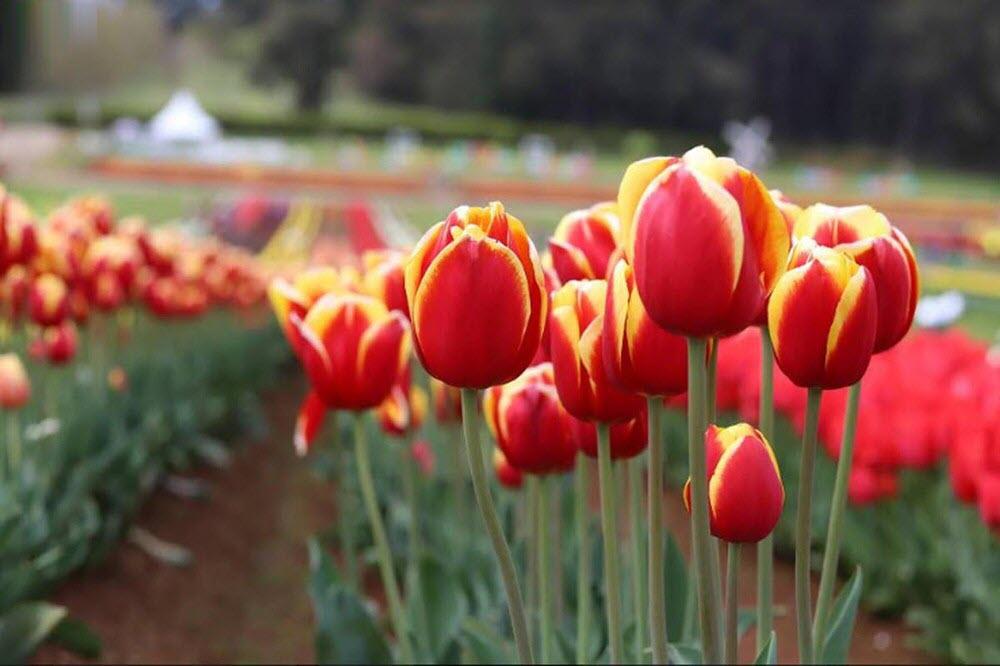 Hình ảnh đẹp về hoa Tulip