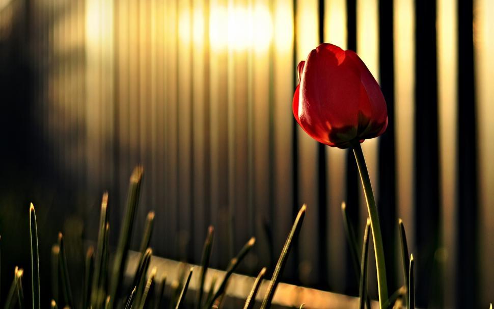 Hình ảnh hoa Tulip cho máy tính