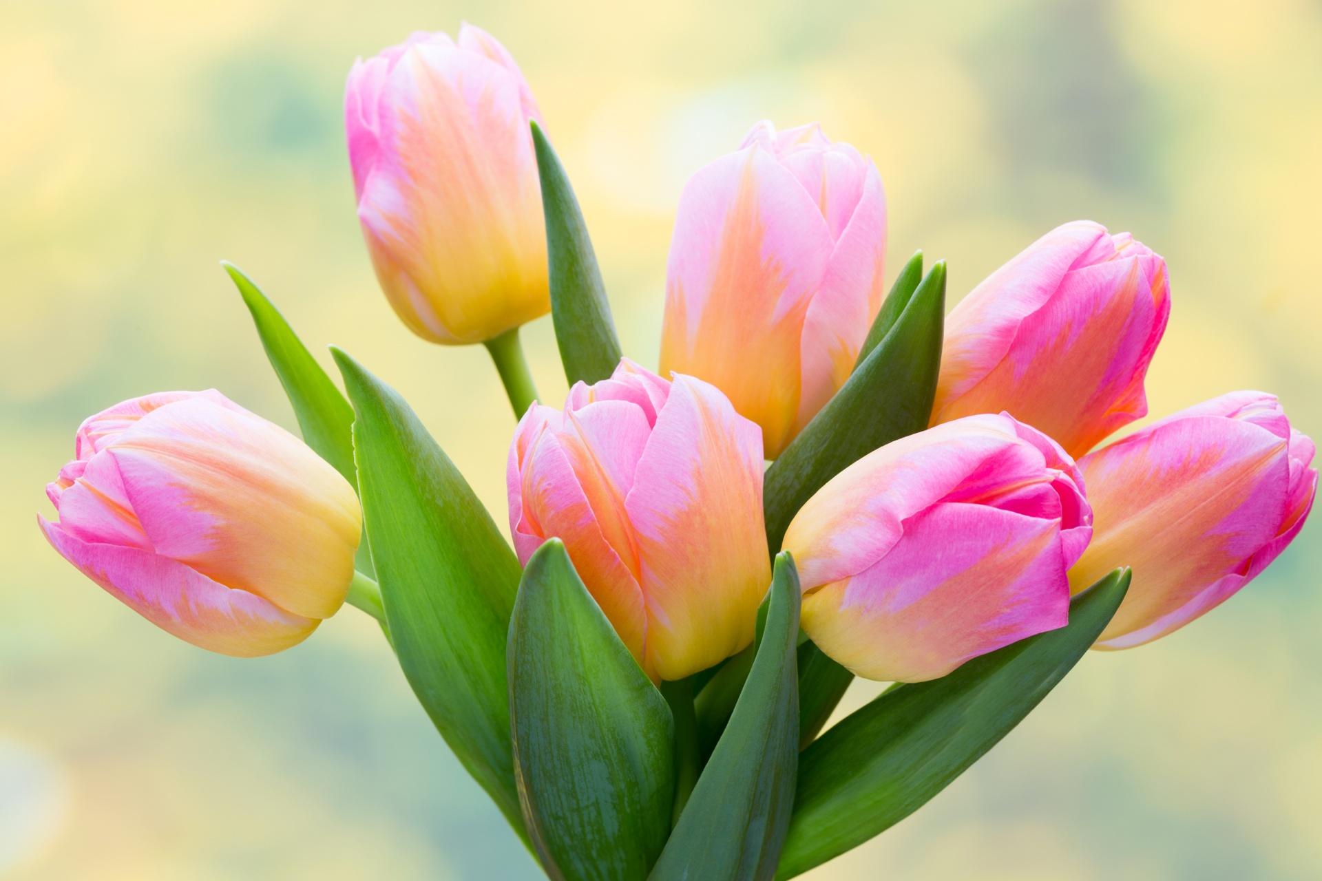 Hình ảnh hoa Tulip rực rỡ tuyệt đẹp