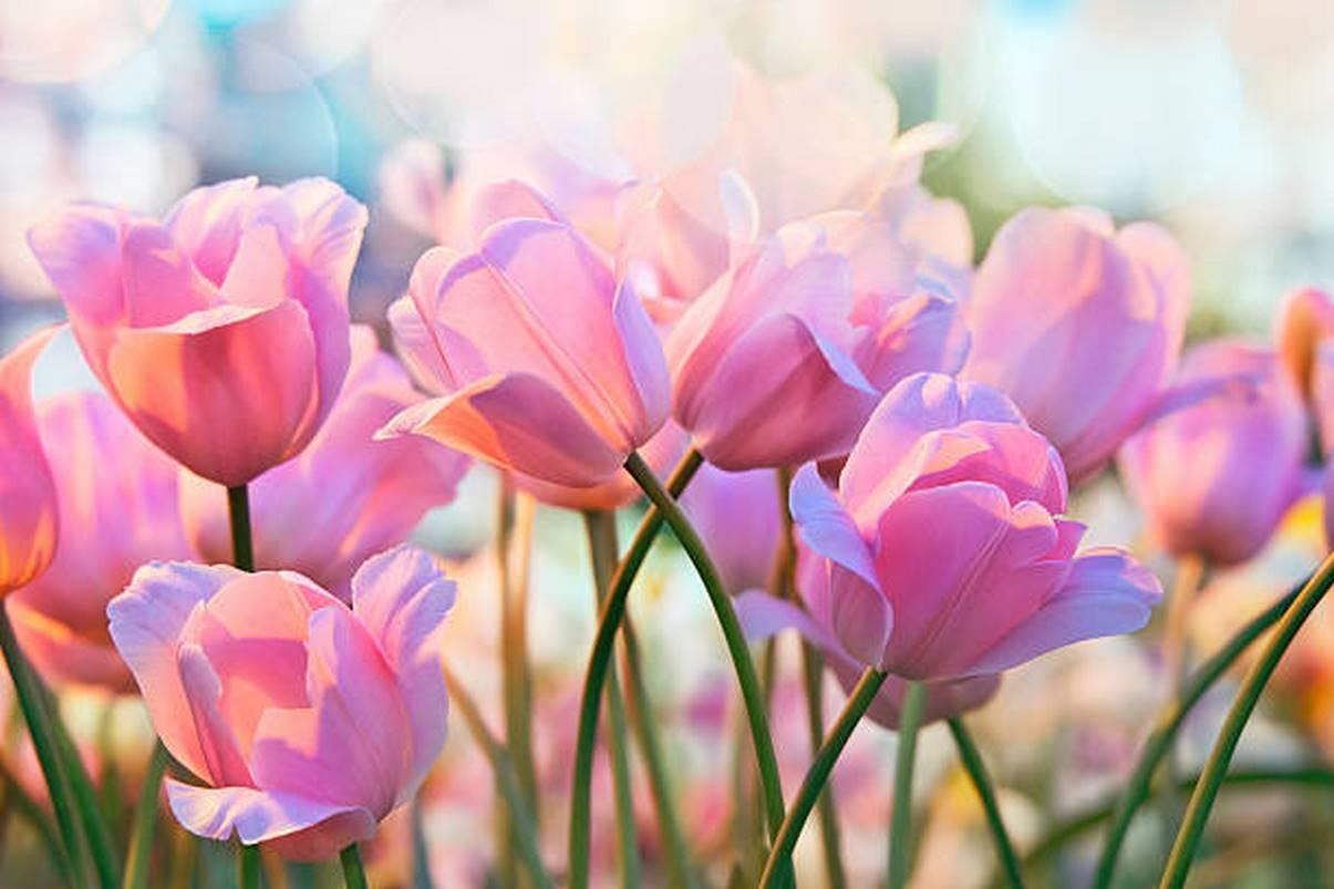 Hình hoa Tulip rực rỡ nhất