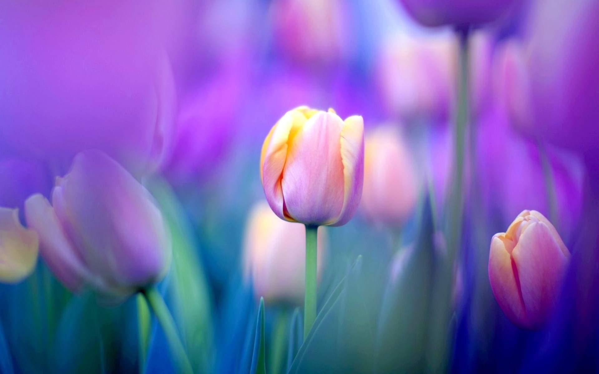 Hình nền hoa Tulip đẹp nhất
