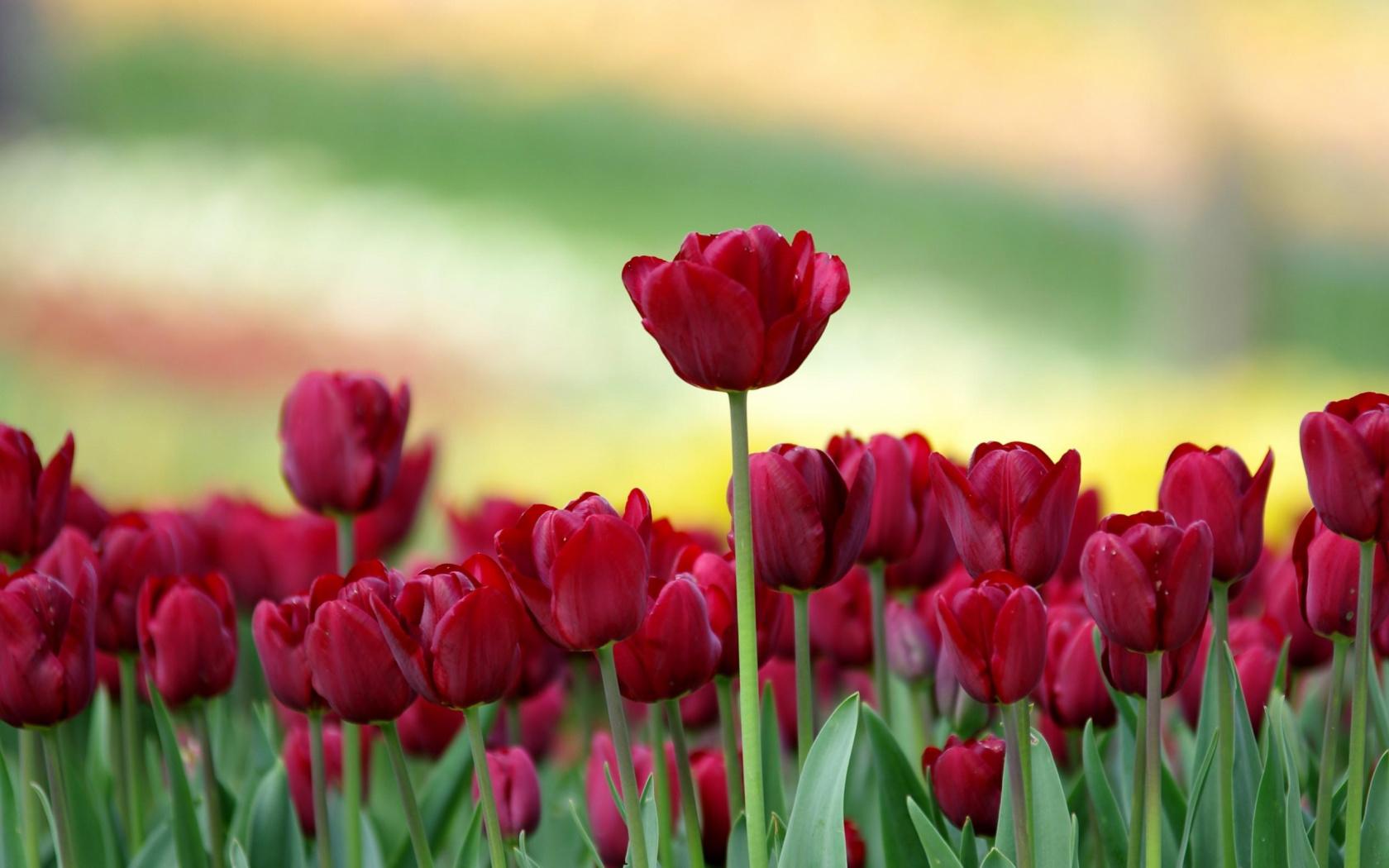 Hoa Tulip đỏ rực rỡ và đẹp nhất