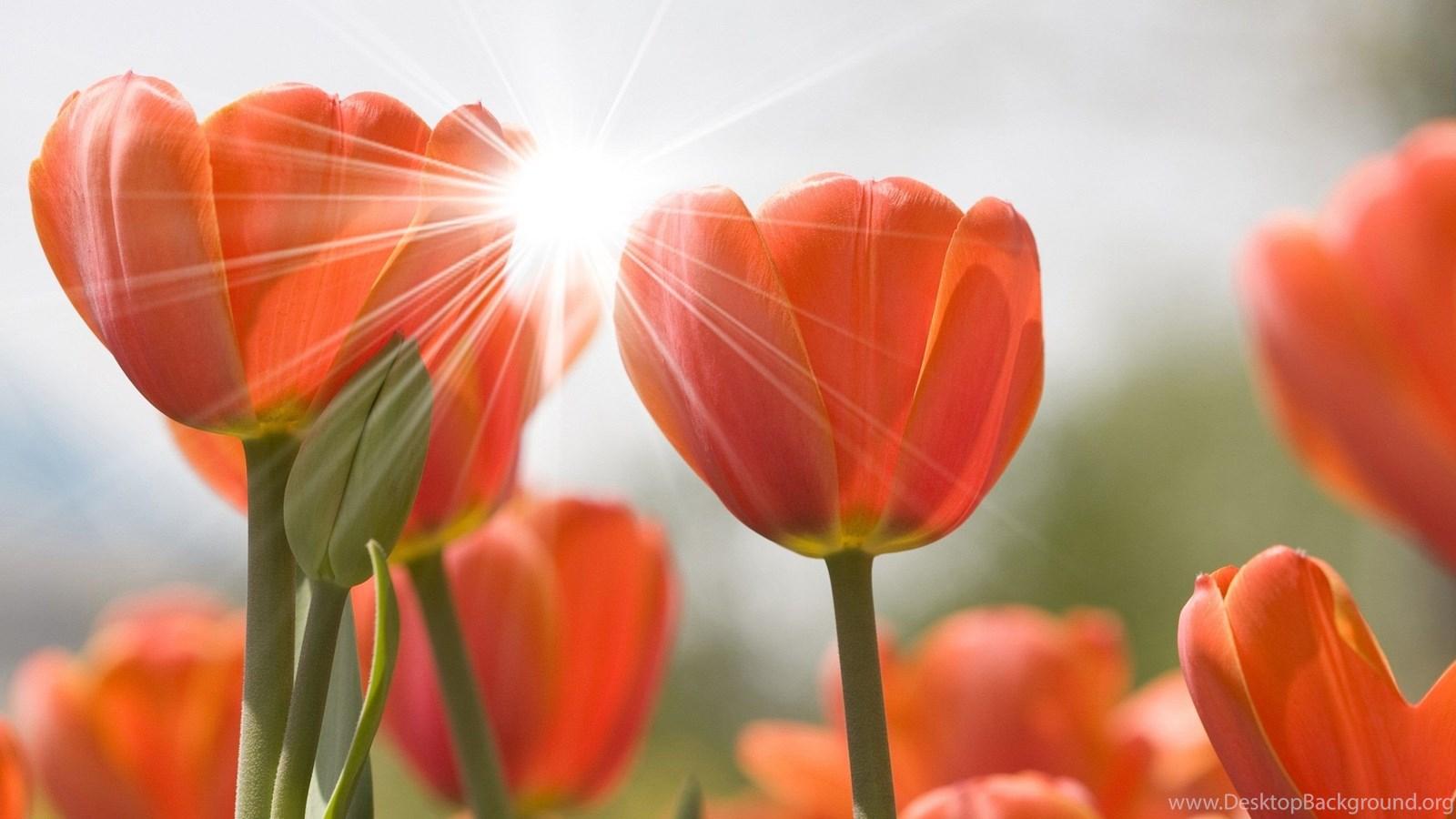 Hoa Tulip dưới ánh nắng mặt trời