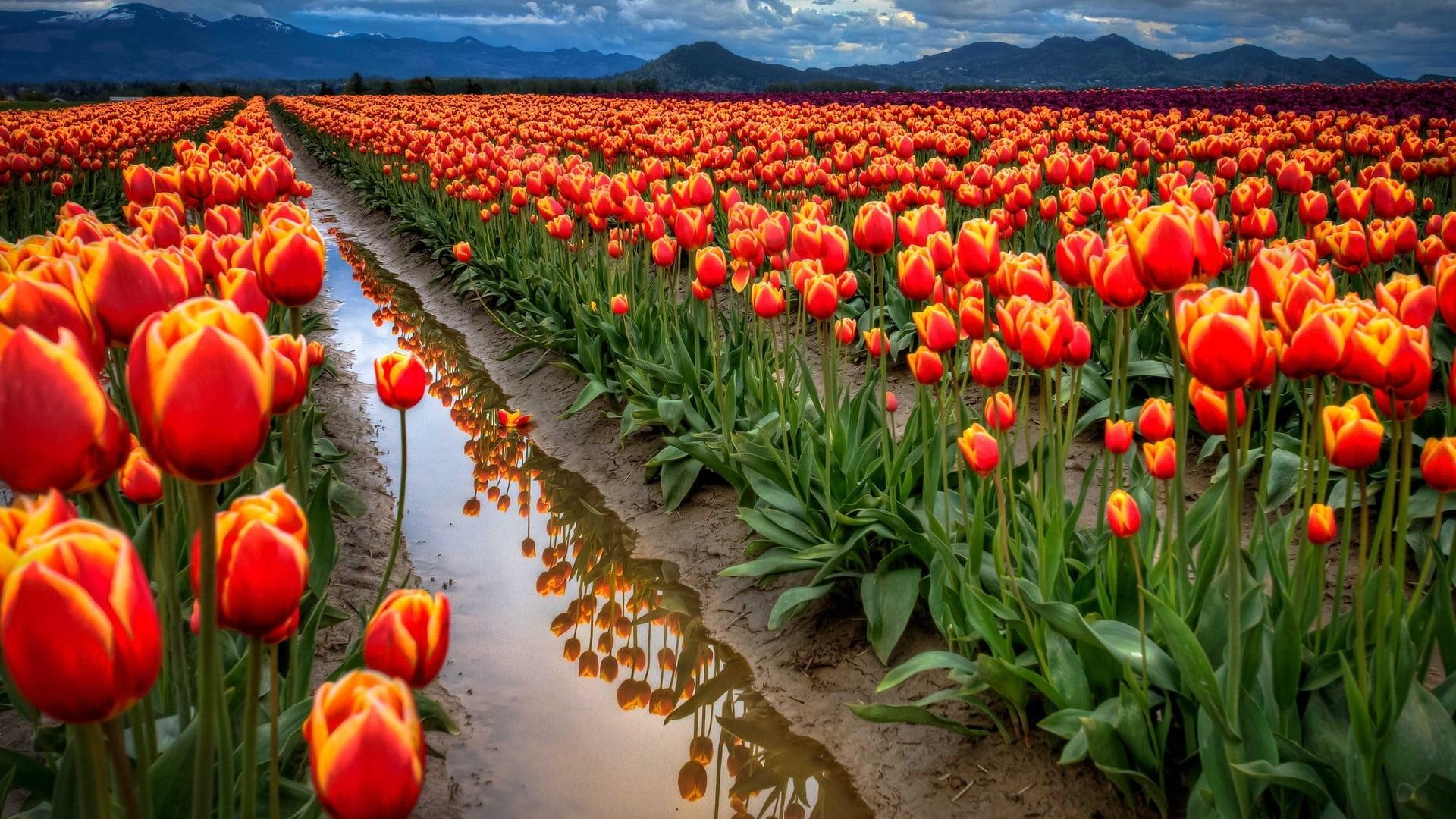 Hoa Tulip màu cam