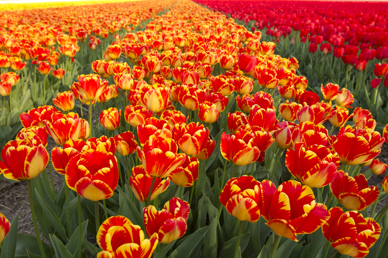 Hoa Tulip rực rỡ sắc màu