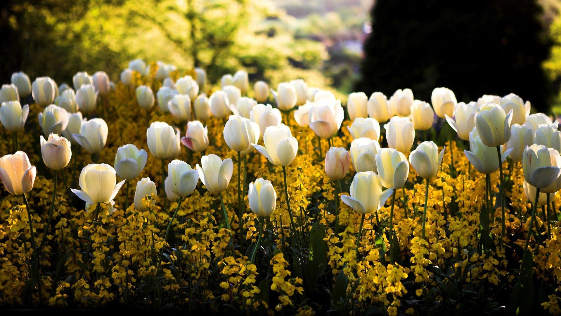 Hoa Tulip trắng đẹp nhất