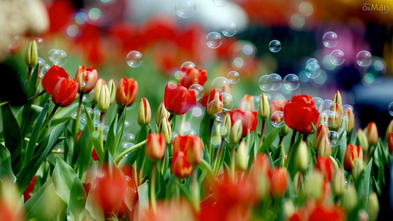 Hoa Tulip và bong bóng xà phòng