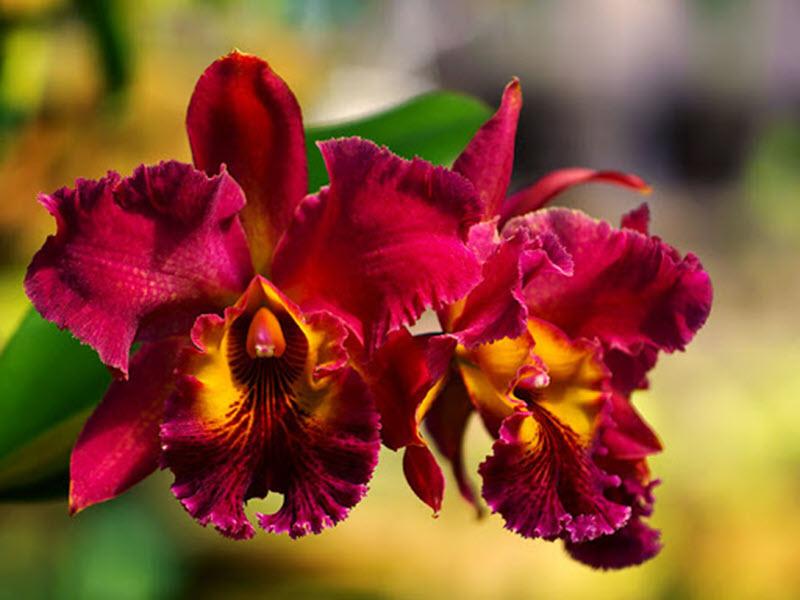 Ảnh cây lan Cattleya
