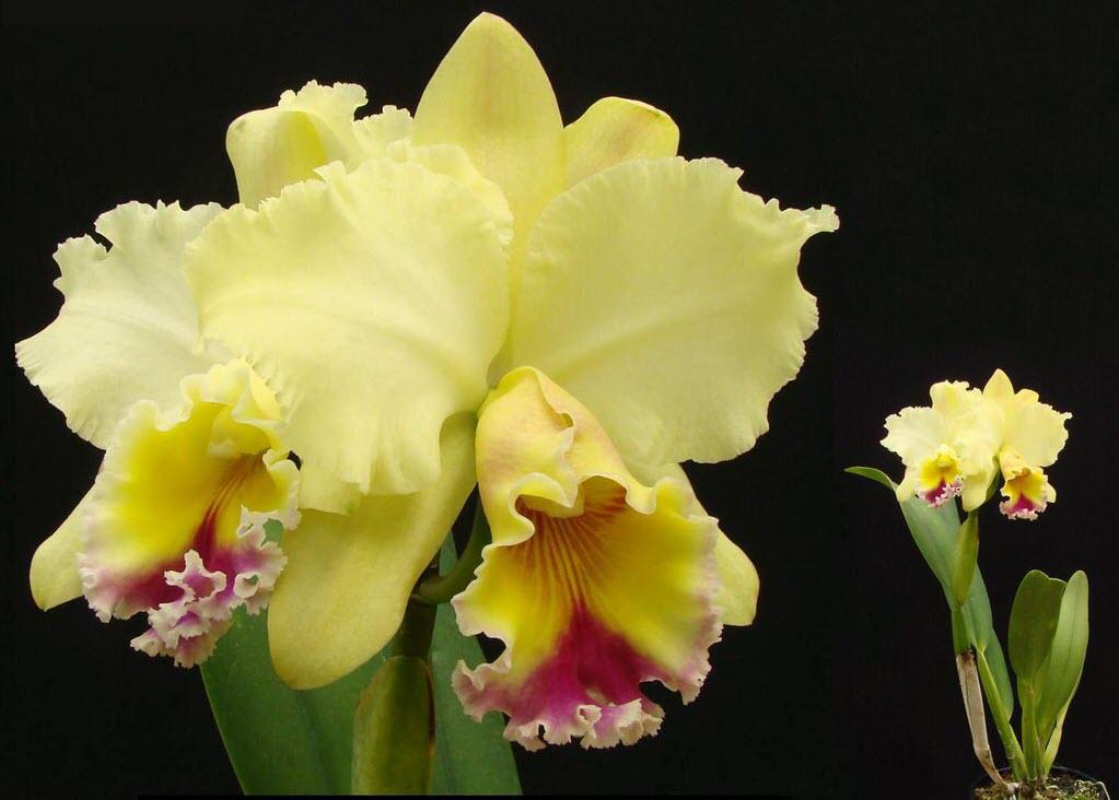 Ảnh hoa lan Cattleya vàng