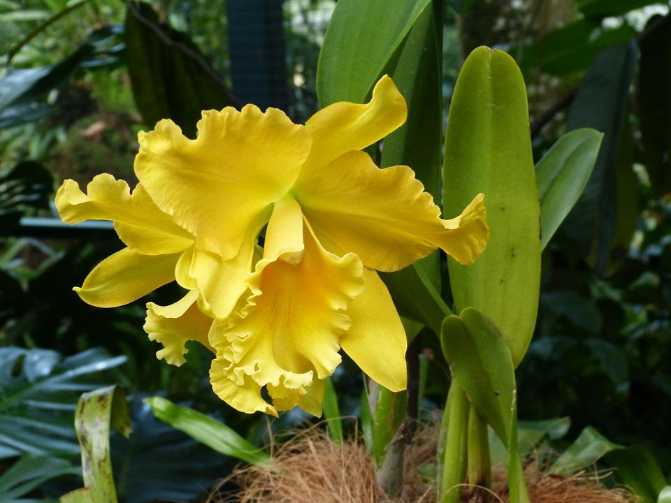 Ảnh lan Cattleya vàng đẹp