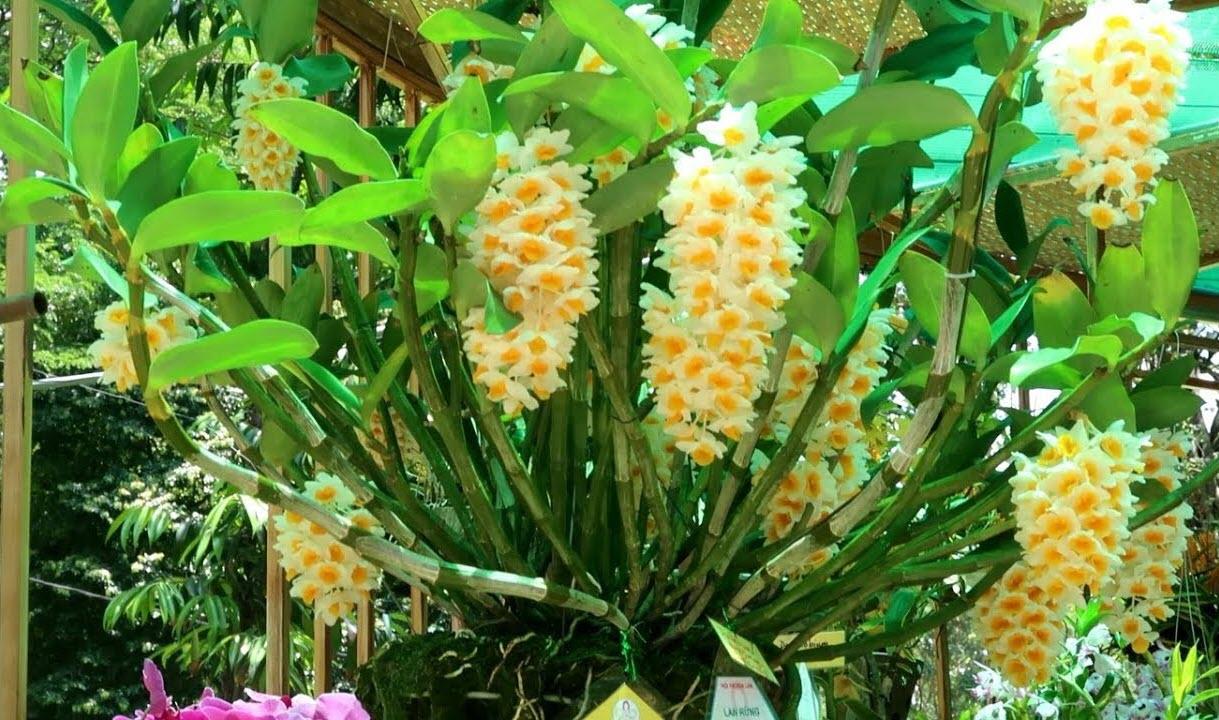 Ảnh Lan thủy tiên đẹp nhất Việt Nam